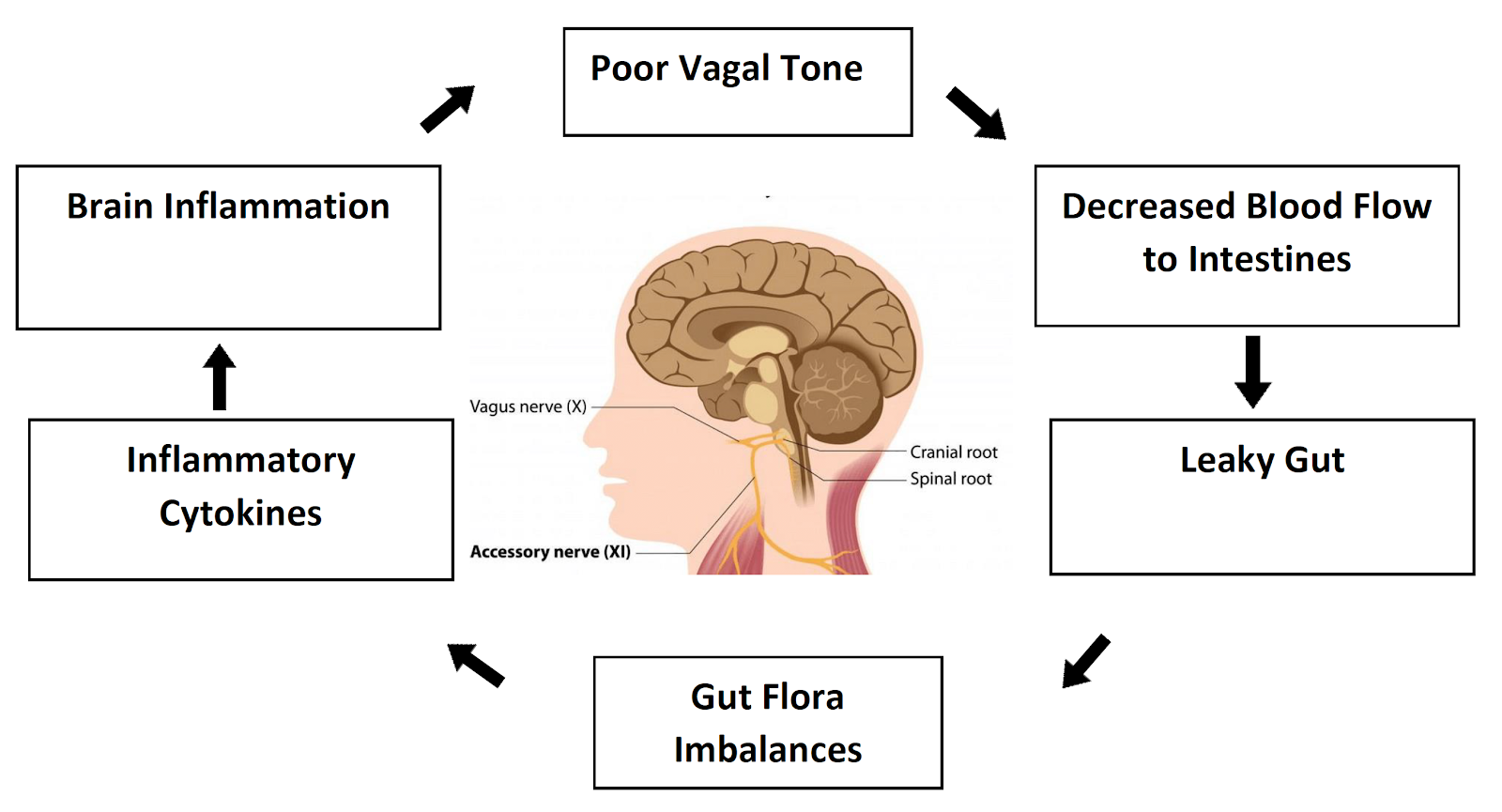 Therefore, many health problems can arise when the Vagus nerve is not properly firing into the digestive organs as illustrated below. Poor Vagal Tone Decreased Blood Flow to Intestines Leaky Gut Gut Flora Imbalances Inflammatory Cytokines Brain Inflammation.